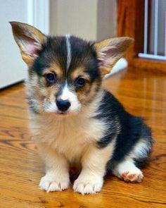 Corgi puppy #PembrokeWelshCorgipuppy
