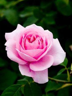 DIY Rose Water Toner #diy #vegan #beauty #crueltyfree