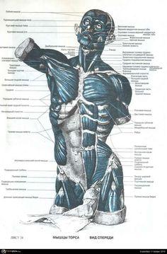 анатомия человека мышцы для художников: 19 тыс изображений найдено в Яндекс.Картинках
