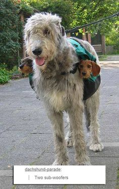 Wolfhound and doxies! One for me and 2 for mom!