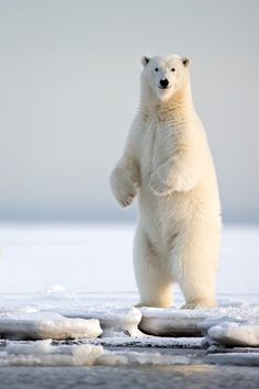 creatures-alive: (via 500px / Polar Bear Vert xOctoberKaktovik Day am by Michael Stern)
