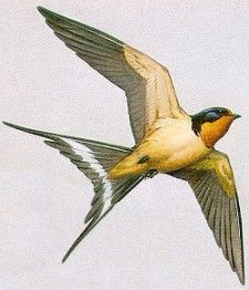 thinking about touch up my barn swallow tat so it looks more like this