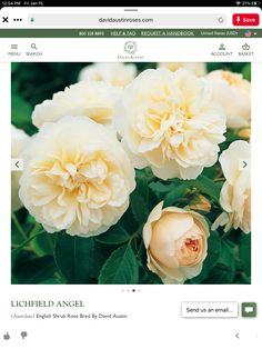 Perennial Flowers List, Flowers Perennials, Deadheading Roses, Rose Hedge, Austin Rosen, Rose Delivery, Rose Care, Heirloom Roses, Pink Cups