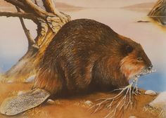 North American Beaver are strict herbivores who do not hibernate. They eat the inner bark of trees during winter. (Beaver Pond by Miles Bendixson) Canadian Symbols, North American Beaver, Busy Beaver, Chief Seattle, Fur Trade, American Spirit, Mountain Man, Rocky Mountains, Pond