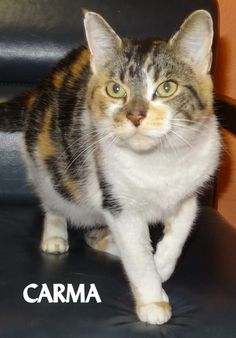 ADOPTED! Tag# 12289 Name is Carma Calico Female-not spayed Affectionate, very friendly!  Located at 2396 W Genesee Street, Lapeer, Mi. For more information please call 810-667-0236. Adoption hrs M-F 9:30-12:00 & 12:30-4:15, Weds 9:30-12:00 & Sat 9:00-2:00  https://www.facebook.com/267166810020812/photos/a.920466131357540.1073742207.267166810020812/920466601357493/?type=3&theater