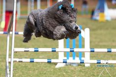 Poodles can do it all!  Agility in show coat.