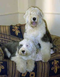 Old English Sheepdogs - Sausha