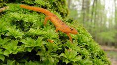 Kingdom Animalia, Red Eft (by Dave Huth)