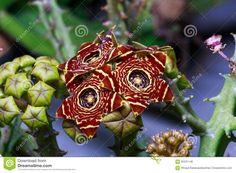 Výsledok vyhľadávania obrázkov pre dopyt huernia in nature
