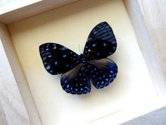 Real Single Butterfly Framed  Taxidermy  Home by ButterflyPalace, €16.00