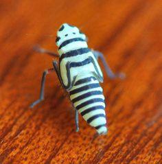 Agrosoma placetis, leafhopper