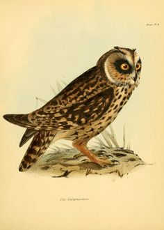 pt. 3 (Birds) - The zoology of the voyage of H.M.S. Beagle ,1832-1836 - Biodiversity Heritage Library | Owl