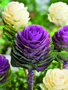 Egmont Seed Company Ltd : Flowers - Accessories Flowers Fruit Fuseables Herbs NZ Natives Seed Tapes & Mats Vegetables , buy seeds, vegetable seeds, flower seeds, online ordering seeds Cut Flower Garden, Flower Art, Flowering Kale, Seed Tape, Buy Seeds, Cabbage Roses, Rose Cottage, Flower Seeds, Planting Seeds