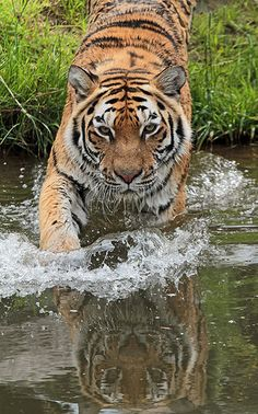 siberische tijger Beekse bergen IMG_0903 | Flickr