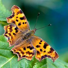 Comma butterfly by Jan Bickerton