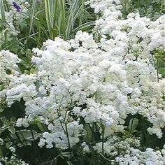 Filipendula vulgaris 'Flore Plena'