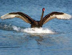 235 Best Black Swan images in 2019 | Black swan, Swan, Birds