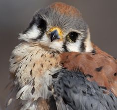 American Kestrel (Falco sparverius), sometimes colloquially known as the Sparrow Hawk, juvenile. ~ is a small falcon, and the only kestrel found in the Americas.
