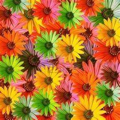 daisies flowers - Bing Images