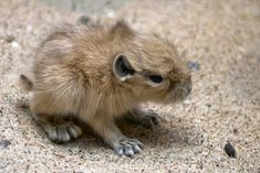 """22 Of The Cutest Animal Babies You've Never Seen Before - Baby Gundi - Gundis or """"comb rats"""" are small rodents. They live in the rocky deserts in northern Africa. They are social animals who live in colonies of up to a hundred or more individuals. They like to make a lot of noise."""