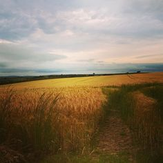 Fields of gold #landscape #photography #cornwall #walkswithethel