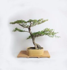 "Mature Black Olive Bonsai Tree, ""Fall'16 Olive Collection by Samurai-Gardens""…"