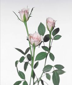 Serena roses. Tiny roses cultivated in Italy