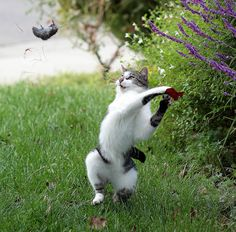 Cat throwing a mouse.