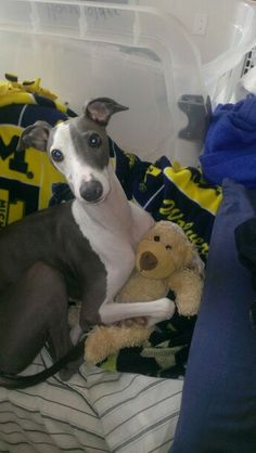Ace our Italian Greyhound, with his teddy