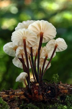 Marasmius Rotula is a common species of Agaric fungus in the family Marasmiaceae. Widespread in the Northern Hemisphere, it is commonly known variously as the Pinwheel Mushroom, the Pinwheel Marasmius, the Little Wheel, the Collared Parachute, or the Horse Hair Fungus. The type species of the genus Marasmius, M. rotula was first described scientifically in 1772 by mycologist Giovanni Antonio Scopoli and assigned its current name in 1838 by Elias Fries.