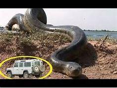La anaconda mas grande del mundo Serpientes gigantes que existieron