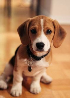 Baby Bubba T Davis, blue tick beagle