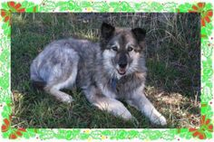 Katie - Katie is an adult Alaskan Malamute/Norwegian Elkhound mix who is under the care of BONES Pet Rescue (Better Options for NEglected Strays) in Covelo, CA. Katie was found as a stray following a thunderstorm and her owner could not be located. She is listed as a special needs dog as she tested positive for heartworms. […]