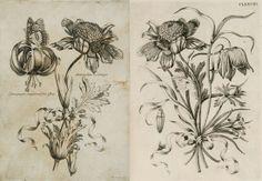 left; Franciscus Curtus - Ad vivium exprimebat - Bononiensis, ca.1640 - right; adapted for use by Maria Sybilla Merian's 1730 De Europischen insecten