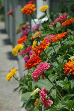Zinnias are some of the most fabulous flowers!  I plant them down the center of my garden like my Mom did!  :)