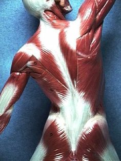Superficial Muscles of the Back Yoga Anatomy aa304f0fa