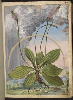 Plantago maior, from De Materia Medica, a work on herbal medicine by Pedanius Dioscorides, 16th century edition. It depicts a wide range of plants against a backdrop of landscapes, often featuring populated scenes. Watercolour