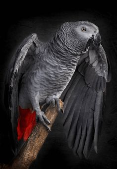 African Grey Parrot flying : Teaching free flight to an African Grey Tropical Birds, Exotic Birds, Colorful Birds, Parrot Pet, Parrot Bird, Loro Real, Beautiful Birds, Animals Beautiful, Parrot Flying