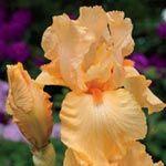 orange harvest_reblooming_german_iris
