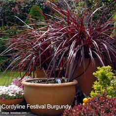 City Gardening cordyline festiva -burgundy - Cordyline plants (Cordyline fruticosa) Hawaiian Ti plant add landscape color inside and out, leaves range from (red, purple, bronze, or pink) [LEARN MORE] Fall Plants, Foliage Plants, Garden Plants, House Plants, Garden Shrubs, Container Flowers, Container Plants, Container Gardening, Gardening Tips