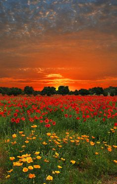 Sunset poppy field in the Hill Country of Texas | by Lynn Bauer