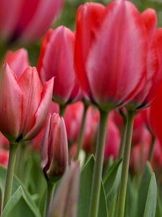 Red Tulips - Keukenhof
