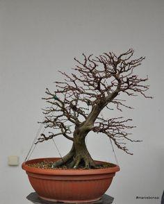 Maros Bonsai Blog: Story of my bonsai tree: Hornbeam No.3 - Gemini