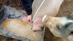 Cum aflăm greutatea unui porc fără cântar. Formula de calcul numărul de kilograme în viu și carcasă