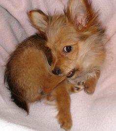 Lulu the Yorkie/Chihuahua Mix
