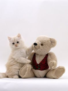 Domestic Cat, Cream Fluffy Kitten with Teddy Bear