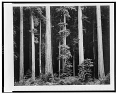 Northern California coast redwoods / Ansel Adams. PH - Adams (A.),... Art, Paintings & Prints