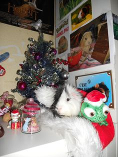 Santa pig is coming to town tonight 1 ^^ ( you can see my creamy guinea pig Nishy above Oreo) ^^