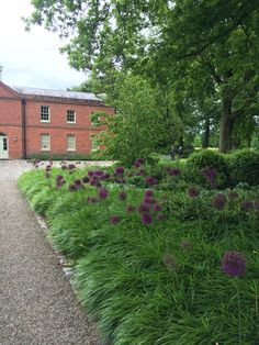 Alliums and hakonechloa at cogshall grange. Designed tom Stuart-smith opened on the NGS (national gardens scheme)