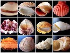 Resultado de imagem para concha do mar